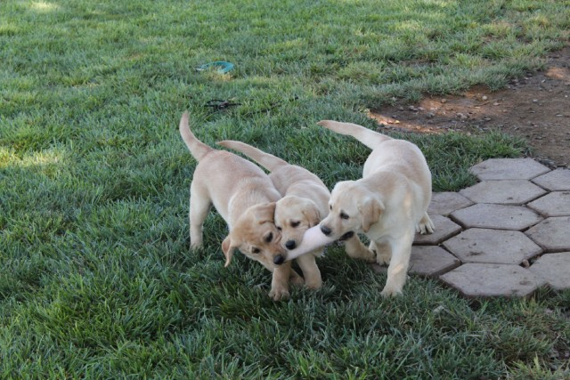 labrador-puppies-at-play