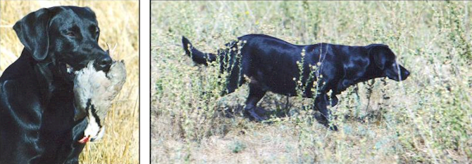Drycreek Labradors Performance