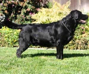 Gamble Labrador Championn