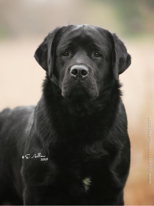 Drycreek Labrador Flint