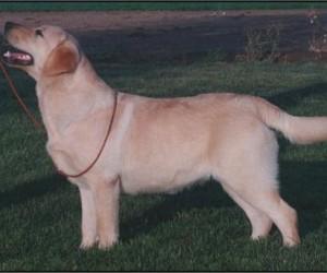 Drycreek Labradors - Hottie