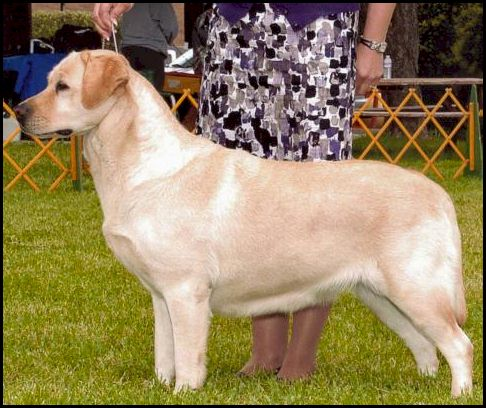 Drycreek Labradors - Lacy
