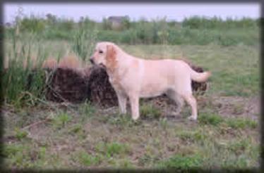 Drycreek Labradors - Missy
