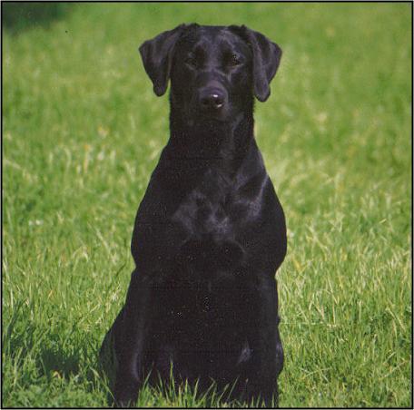 Drycreek Labradors - Robin
