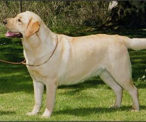 Drycreek Labradors - Skeeter