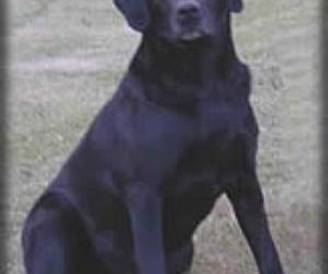 Drycreek Labradors - Zipper