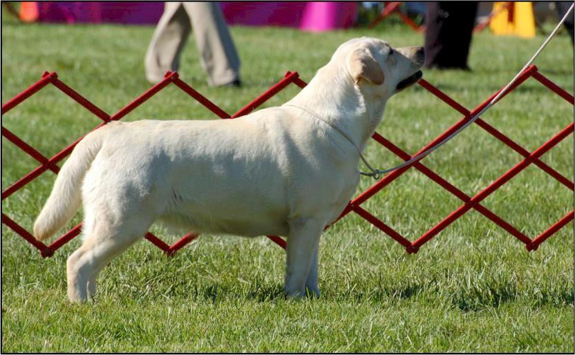 Drycreek Labradors - Boogie-full-shot