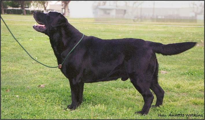 Drycreek Labradors - Brodie