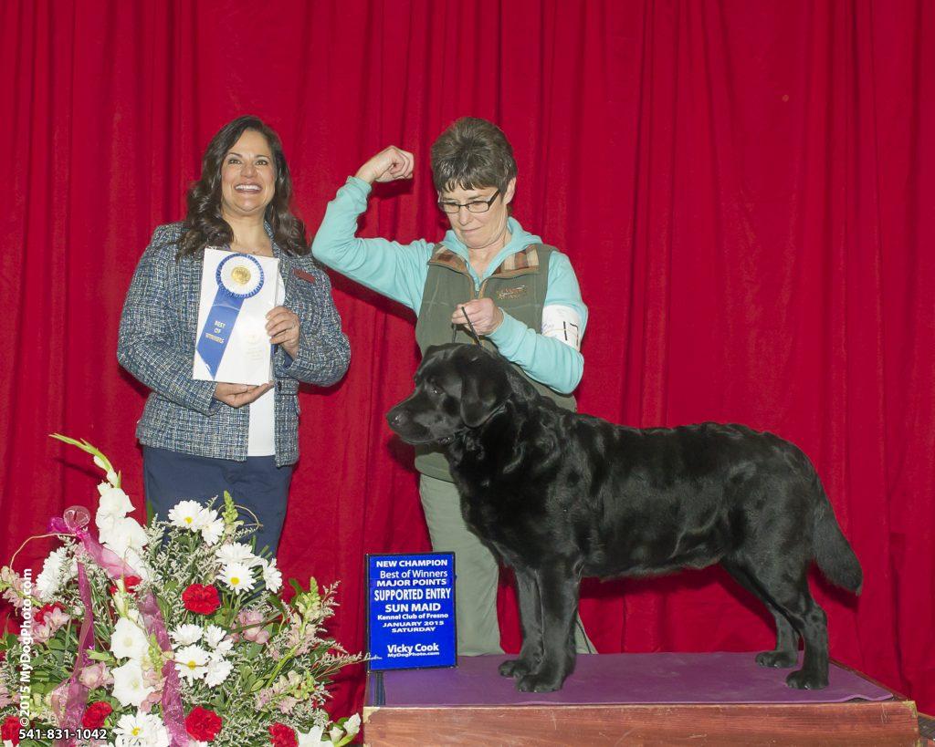 Drycreek Labradors' Gamble's New Show Win