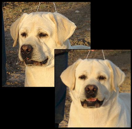Drycreek Labradors - Golden Lab Headshot