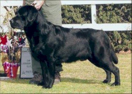 Drycreek Labradors - Monty