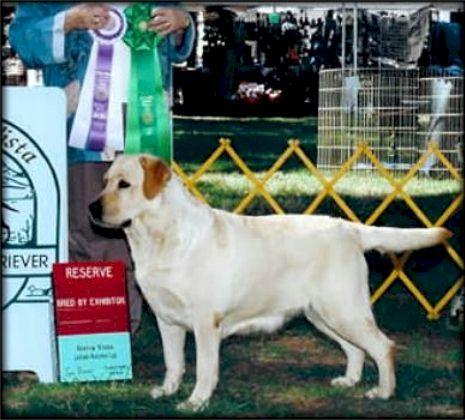 Drycreek Labradors Retired Golden Retriever Shelby