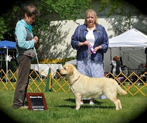 Drycreek Labradors- Stevie-and-judge-creamer