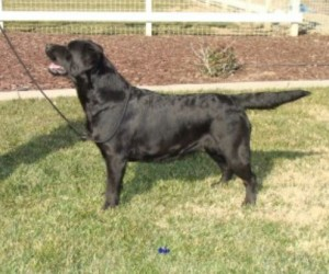Drycreek Labradors - Sure Shot Osie