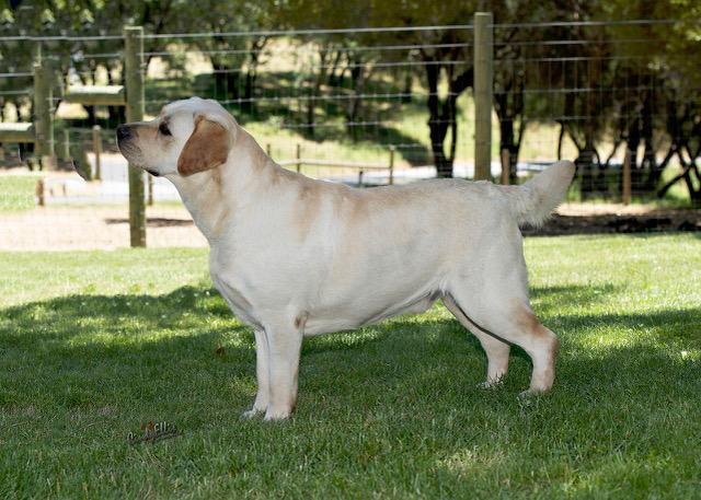 Drycreek Labrador - Josh