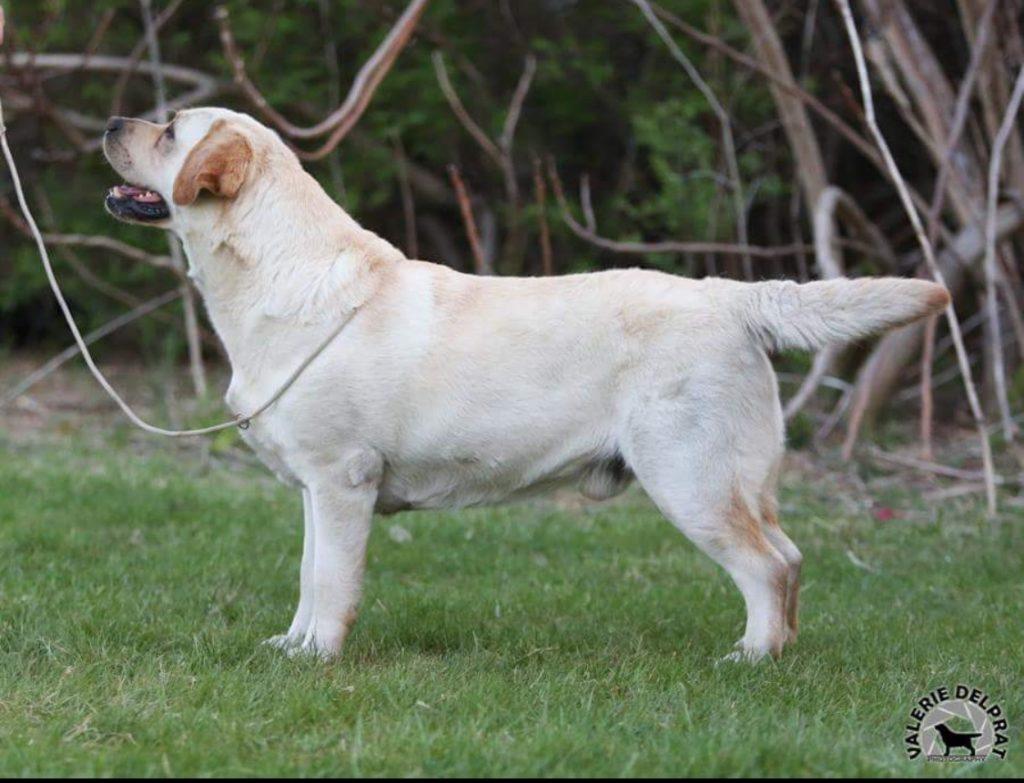 Josh Champion Labrador