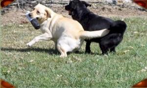 Labrador Buddies