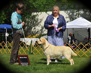 Drycreek Labradors - Stevie